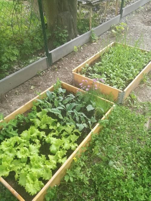 Na zahradě nám (hlavně díky paní učitelce Ivě) krásně roste zelenina vzáhoncích
